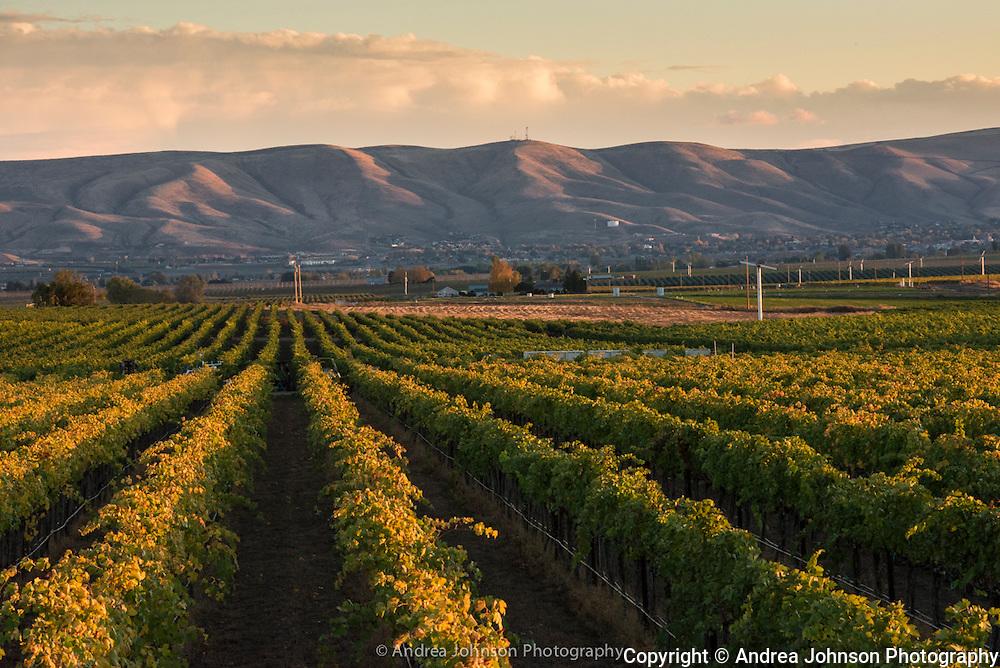Lewis Vineyard sunset, Yakima, Washington