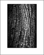 Oak. Personal fine art photography by Piotr Gesicki