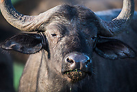 Cape Buffalo, Addo Elephant National Park, Eastern Cape, South Africa