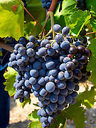 Nero d'Avola at Urla