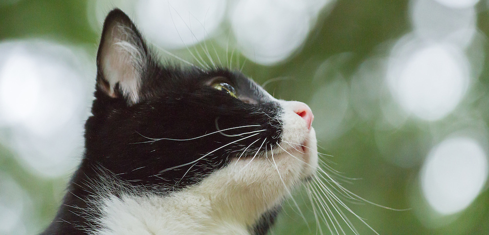 Black and white cat gazing into the skies