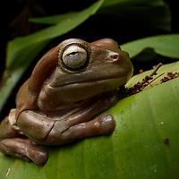 Green Tree Frog (Litoria caerulea), brown form. Wasur National Park, Papua, Indonesia.