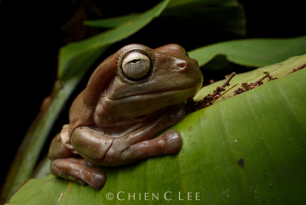 Green Tree Frog (Litoria caerulea), brown form. Wasur National Park, Papua, Indonesia.