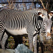 A zebra at the Smithsonian Institution's National Zoo, Washington DC. The zebra is standing facing the camera.