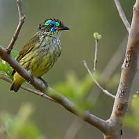 Schlegel's Asity (Philepitta schlegeli), endemic to Madagascar.