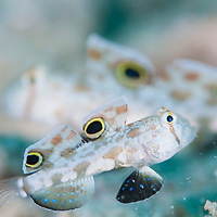 Signal Goby, Signigobius biocellatus, Mantabuan, Sabah, Borneo, East Malaysia, South East Asia