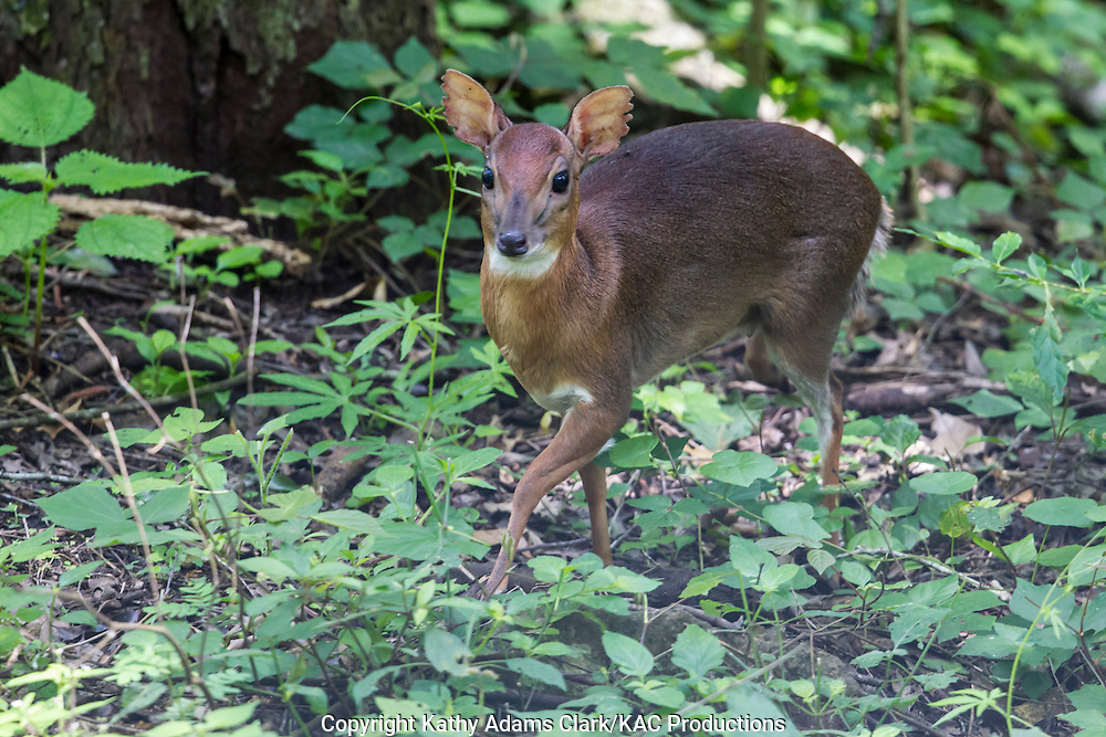 Red Duiker, Cephalophus natalensis, in the brush, standing only 13-inches high, at Arusha National Park, Tanzania.