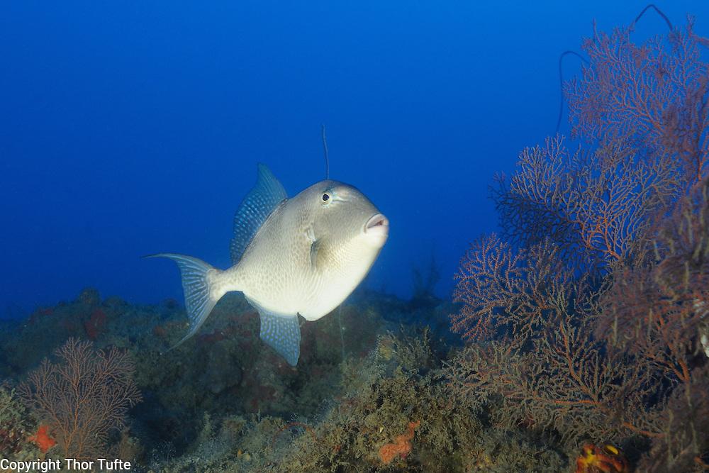 Ocean Triggerfish