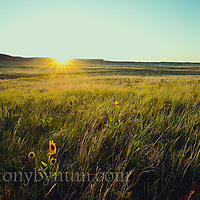 frenchman creek area montana, sunrise and prairie flowers conservation photography - montana wild prairie