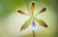 rainforest orchid, Epidendron sp, rio negro, amazonas, brazil