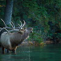 bull elk with water streaming off head standing in water
