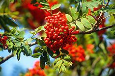 Lijsterbes, Sorbus aucuparia