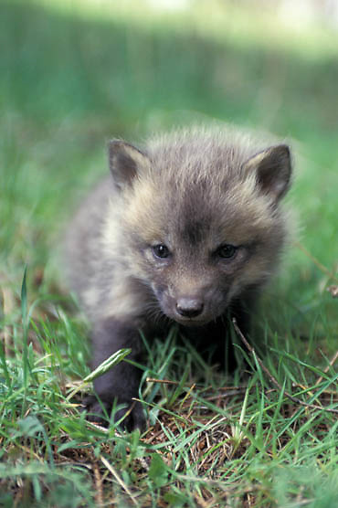 Red Fox, (Vulpus fulva)  Very young kit explores area near den. Spring. Captive Animal.