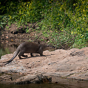 The smooth-coated otter (Lutrogale perspicillata) is an otter species occurring in most of the Indian subcontinent and Southeast Asia. As its name indicates, the fur of this species is smoother and shorter than that of other otter species as well as having a flatter tail profile.