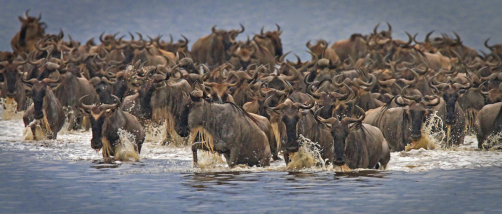 Wildebeest (Connochaetes taurinus) crossing Lake Ndutu in the Serengeti.<br />