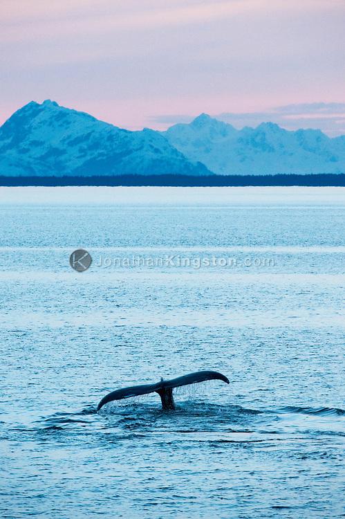A humpback whale (Megaptera novaeangliae) swimming in Alaska.