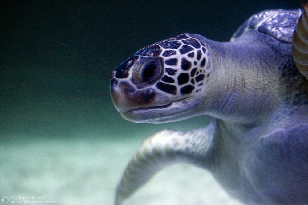 Green Sea Turtle (Chelonia mydas) at the Vancouver Aquarium.