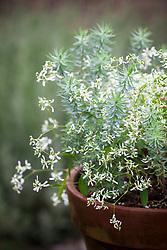Euphorbia 'Gloria' with Euphorbia 'Grey Hedgehog' in a terracotta pot