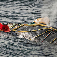 Fishing ropes wrap over the blowhole of a severely entangled North Atlantic right whale (Eubalaena glacialis) in the Gulf of Saint Lawrence, Canada. Fishing gear entanglement is a leading cause of death in North Atlantic right whales. IUCN Status: Endangered.