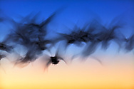 Abstract motion blur of Snow Geese in flight, Anser Caerulescens, Bosque Del Apache National Wildlife Refuge, New Mexico