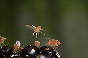 A fruit fly (Drosophila melanogaster) flying near a himilayan blackberry (Rubus armeniacus). Western Oregon.