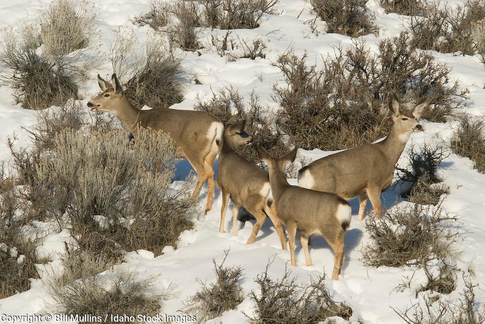 Mule deer does and fawns (Odocoileus hemionus) on winter range near Lucky Peak Reservoir, ID