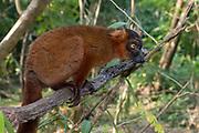Hybrid between black lemur (Eulemur macaco) and crowned lemur (Eulemur coronatus) at Palmarium Resort, Madagascar.