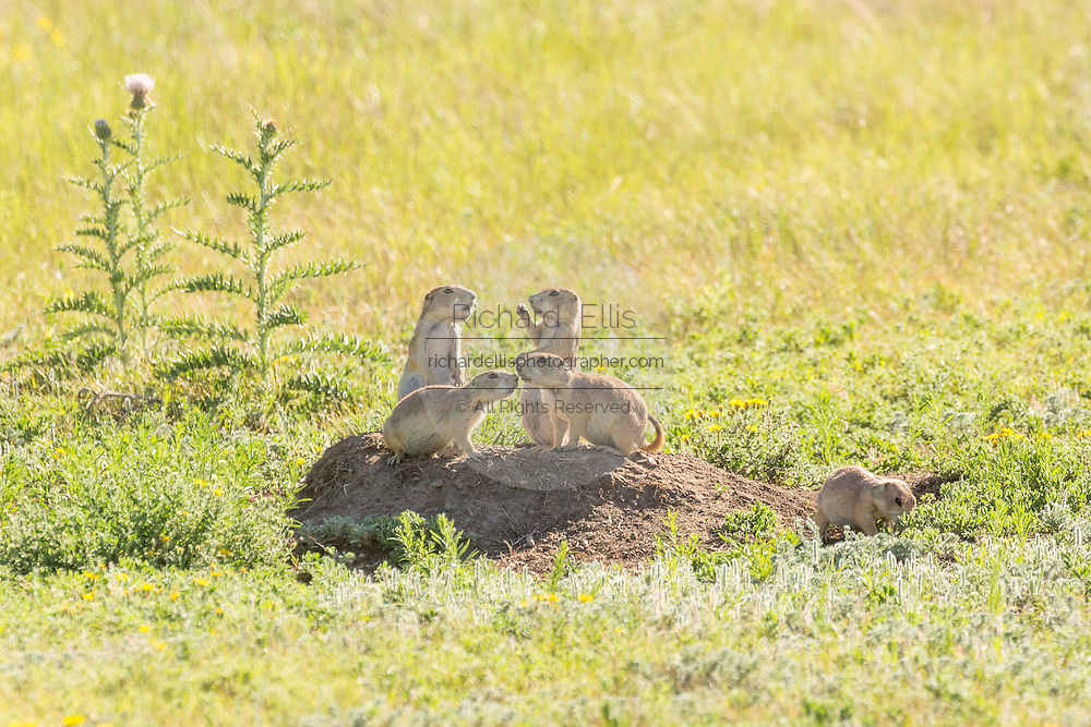 A coterie of Black tailed Prairie Dogs look out from their burrow in a colony occupying a suburban field in Cheyenne, Wyoming.