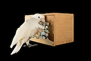 "[captive] Goffin's cockatoo (Cacatua goffiniana). In the ""Lockbox"" experiment, the cockatoo has to solve a sequential five-step problem to reach a treat (nut). Here, the cockatoo removes a screw. Results of this study were published as ""Explorative learning and functional inferences on a five-step means-means-end problem in Goffin's cockatoos (Cacatua goffini)"" in the journal Plos ONE. Goffin's cockatoos or Tanimbar Corellas are endemic to the Tanimbar archipelago in Indonesia. Research on their cognitive abilities is done in the Goffin Lab (Lower Austria) by Dr. Alice M. I. Auersperg. Sequence 3/8. 