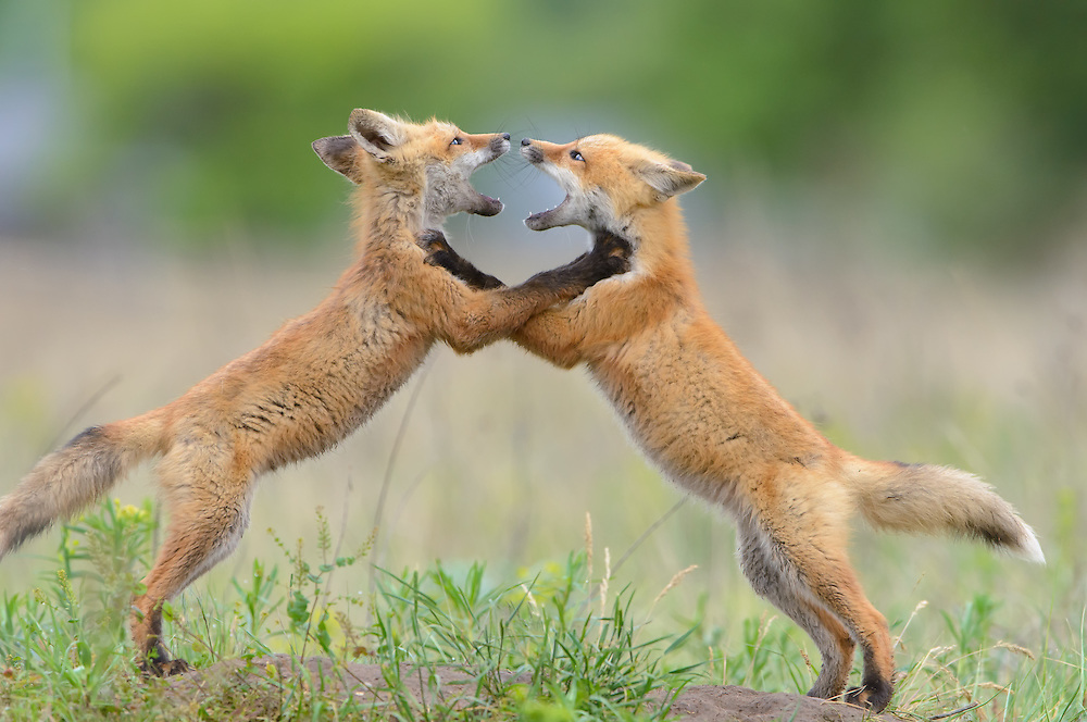 Sparring Red Fox Kits, Missoula, Montana