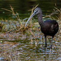 South Florida bird photography from New England based outdoor photographer Juergen Roth showing a glossy ibis at the Green Cay Nature Center and Wetlands in Boynton Beach, Florida. Green Cay and Wakodahatchee Wetlands are amazing nature area for viewing and photographing wildlife in Florida. <br />
