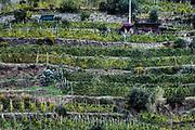 Charming hillside vineyard, Cinque Terre, Liguria, Italy.