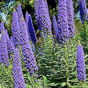 Echium Candicans in full bloom, flower patern detail
