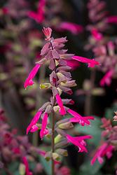 Salvia Salmia Dark Purple