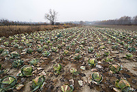 A cabbage field on the outskirts of Warsaw ready for harvest.