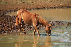 Horse drinking from a pond near to Vinales; Pinar Province; Cuba,