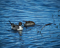 Pair of Northern Pintails. Black Point Wildlife Drive, Merritt Island National Wildlife Refuge. Image taken with a Nikon D3s camera and 70-200mm f/2.8 lens with a 2.0 TC-E III teleconverter (ISO 200, 400 mm, f/5.6, 1/1000 sec).