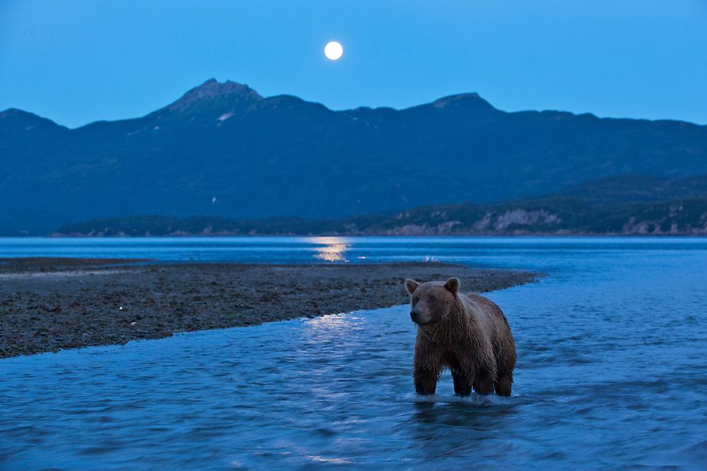 USA, Alaska, Katmai National Park, Grizzly Bear (Ursus arctos) stands in salmon stream beneath rising full moon along Kukak Bay