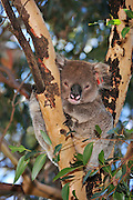 red tag 96 male southern koala on kangaroo island.