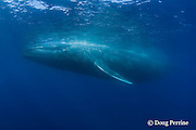 blue whale, Balaenoptera musculus, Endangered Species, California ( Eastern Pacific Ocean )
