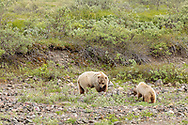 Grizzly (ursus arctos) sow and cub foraging in Denali National Park in Interior Alaska. Summer. Afternoon.