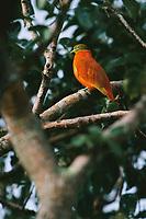 An orange dove, Ptilinopus victor, perches on a tree limb.