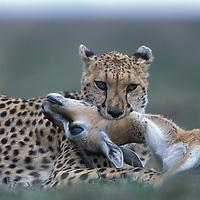 Kenya, Masai Mara Game Reserve, Cheetah (Acinonyx jubatas) suffocates Thomson's Gazelle (Gazella thomsonii)