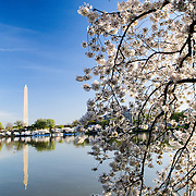 At left of frame is the Washington Monument reflected on the still water of the Tidal Basin. At right of frame is one of the 1,678 Cherry Blossom trees blooming in early spring around the Tidal Basin next to Washington's National Mall.