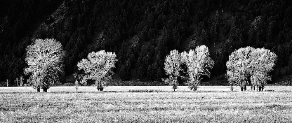 First light skims across a row of trees on the valley floor in Jackson Hole, Wyoming.