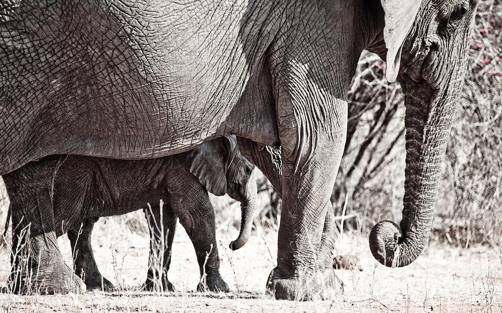 Elephants, Ruaha National Park, Tanzania
