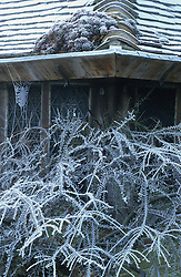 Cotoneaster horizontalis and cobwebs with hoar frost at Great Dixter