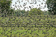 A flock of birds takes off after feeding in a field in Hamptonburgh on Oct. 1, 2007.