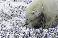 WWF says polar bears (Ursus maritimus) are set to become one of the most notable casualties of global warming unless drastic action is taken. The impact of climate change is increasingly felt in polar regions, where summer sea ice is expected to decrease by 50?00 per cent over the next 50?00 years. Polar bears are predicted to suffer more than a 30 per cent population decline in the next 45 years.