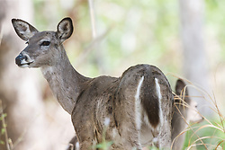 White-tailed deer, Dolan Falls Preserve, Devils River, Texas
